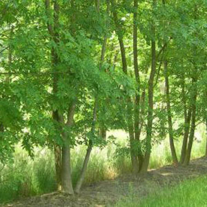 Three Fraxinus-Excelsior Ash Trees To Be Used For Rustic Chairmaking