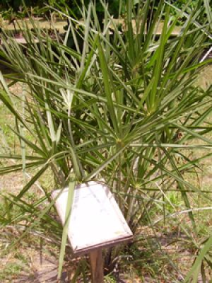 Dwarf Palm plant hyphaene species