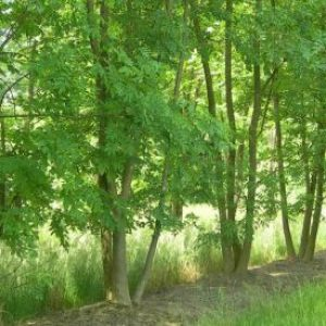 image showing row of fraxinus-excelsior ash trees